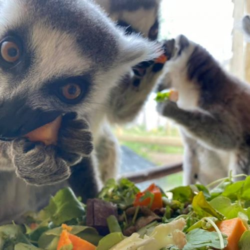 Lemurs eating breakfast