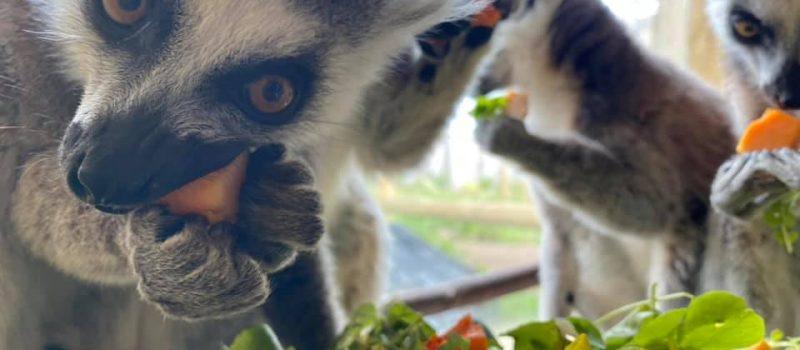 Lemurs eating breakfast