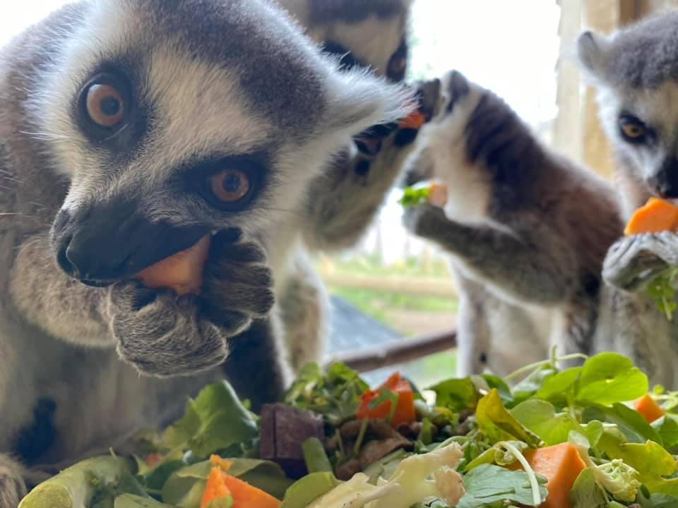 lemur-best-picture